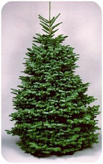 harveys harvest christmas trees - Silvertip Fir Christmas Tree